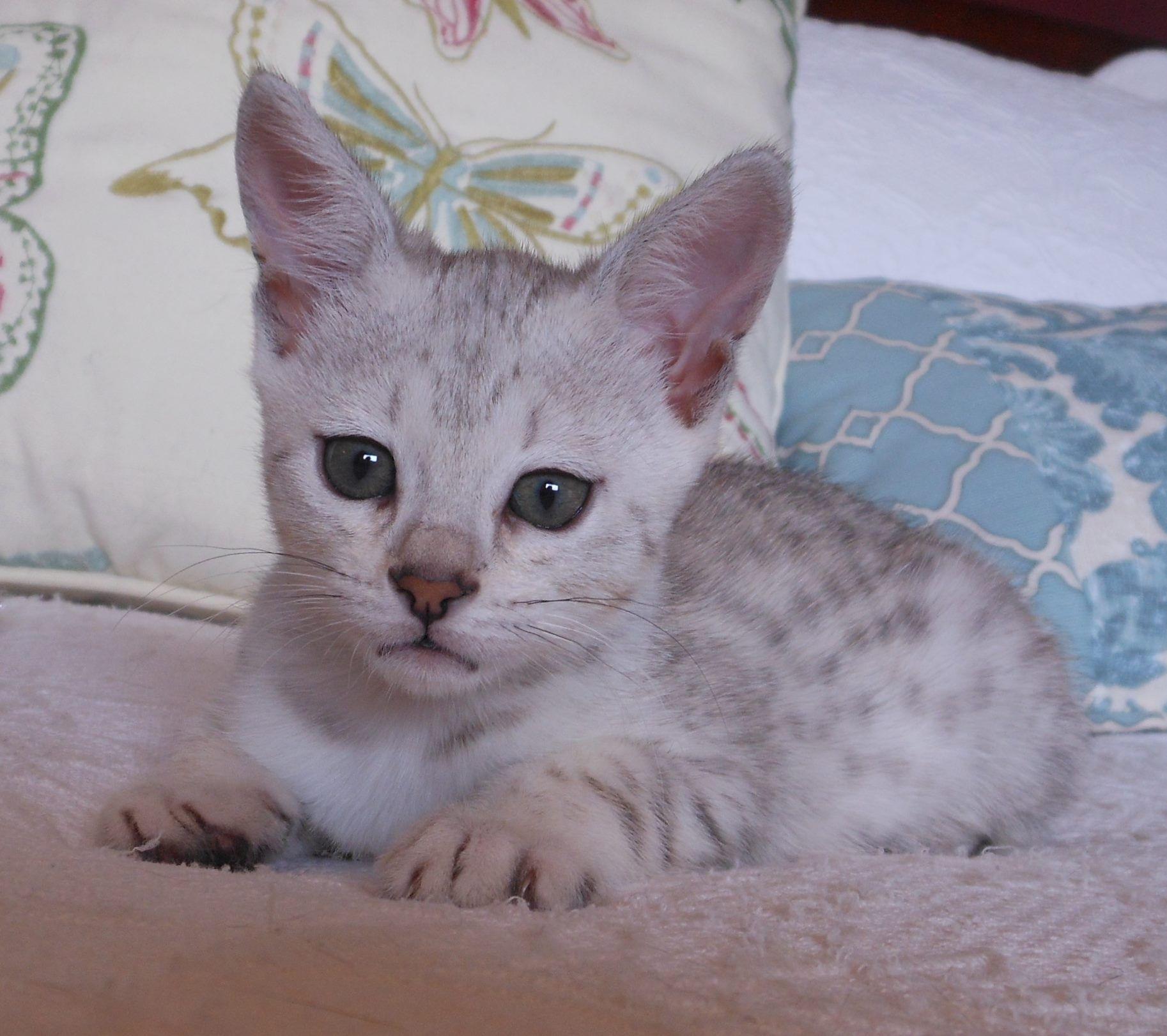 8 week old.... F4 Savannah Kitten... This a BEAUTIFUL cream ...