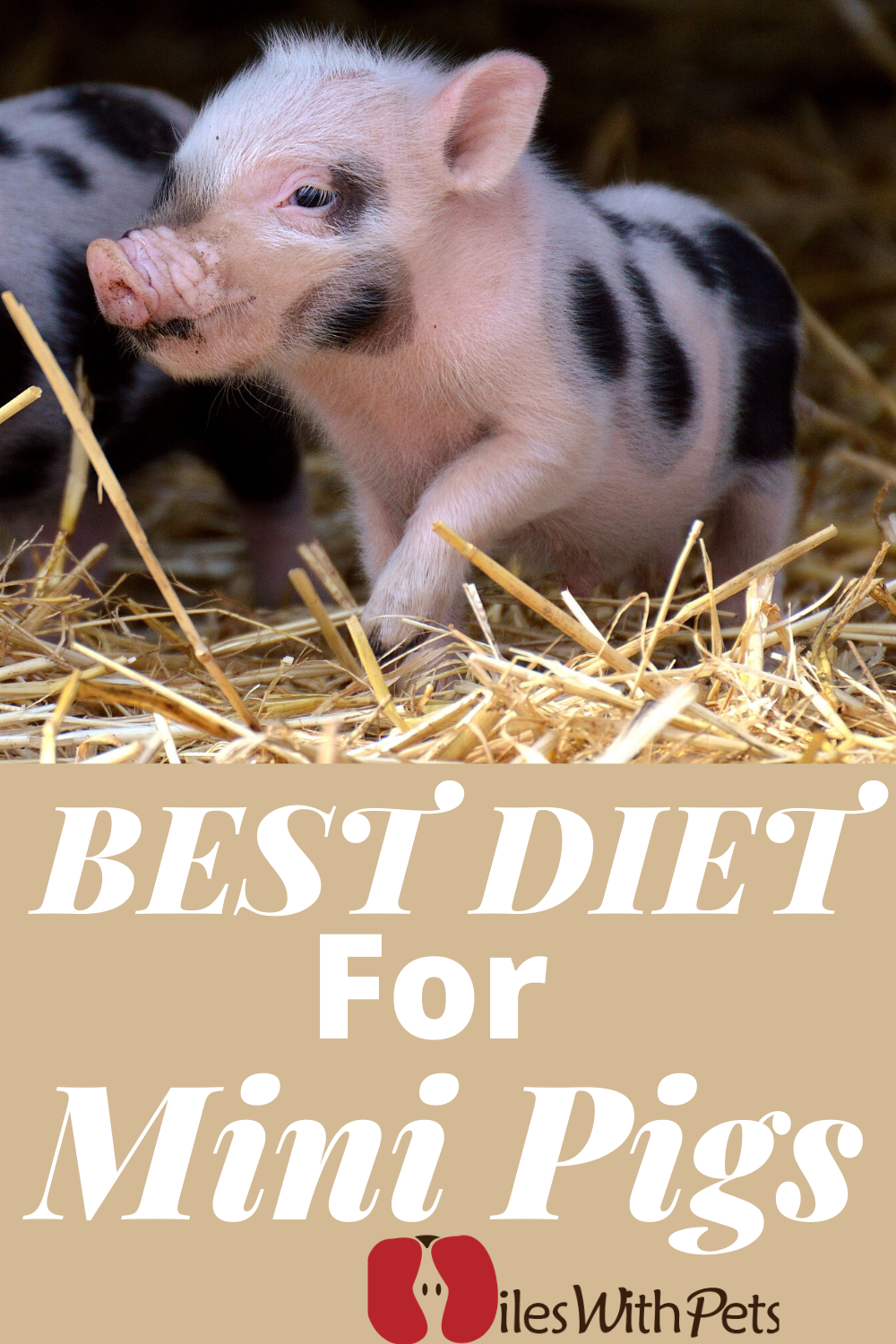 Proper Diet For Mini Pigs The Proper Care And Feeding Of Your Mini Pig Is Pot Belly Pigs Mini Potbelly Pigs Mini Pig Care