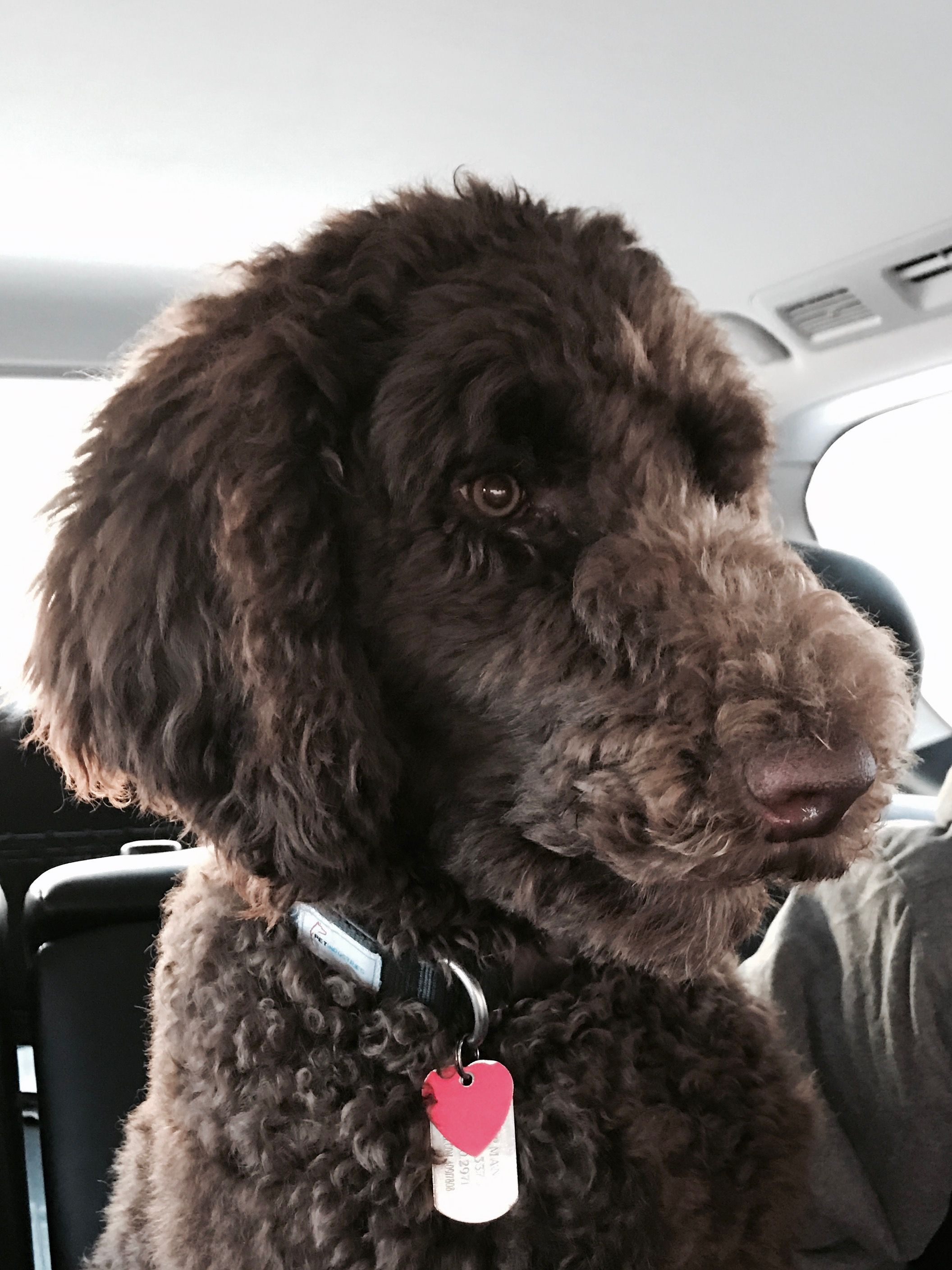 black labradoodle haircuts pin on standard poodle haircuts