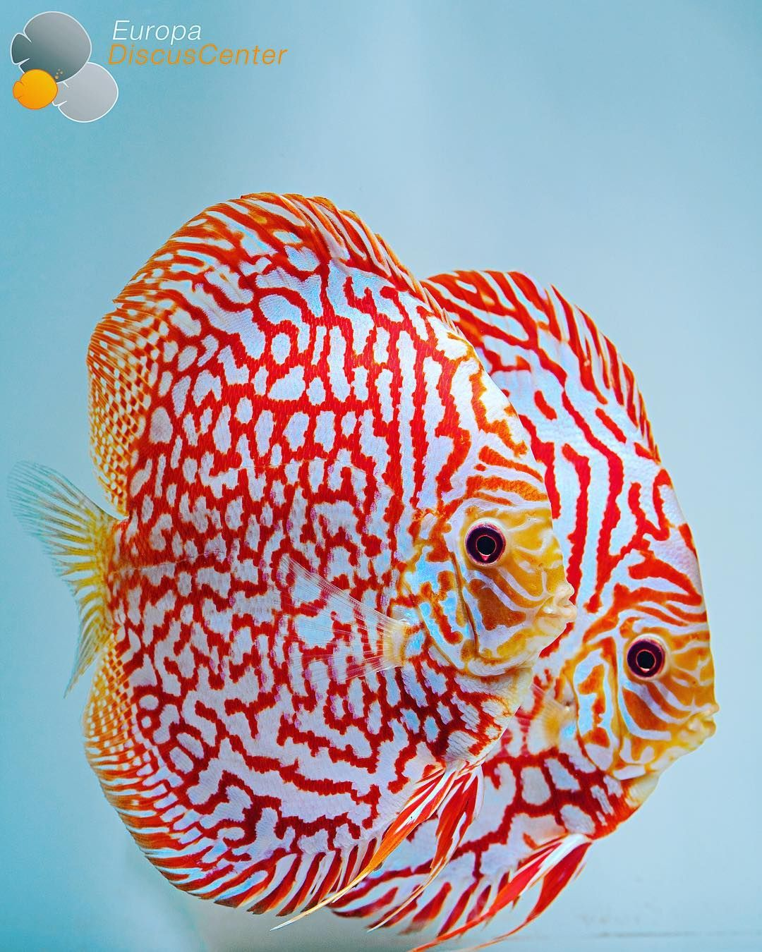 Checkerboard Red Map Discus Pair | Fish | Pinterest