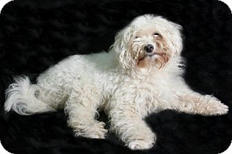 Pictures of Popcorn a 5yr  old Special Needs female Bichon