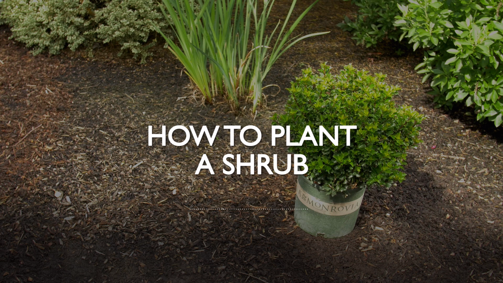 Photo of How to Plant a Shrub