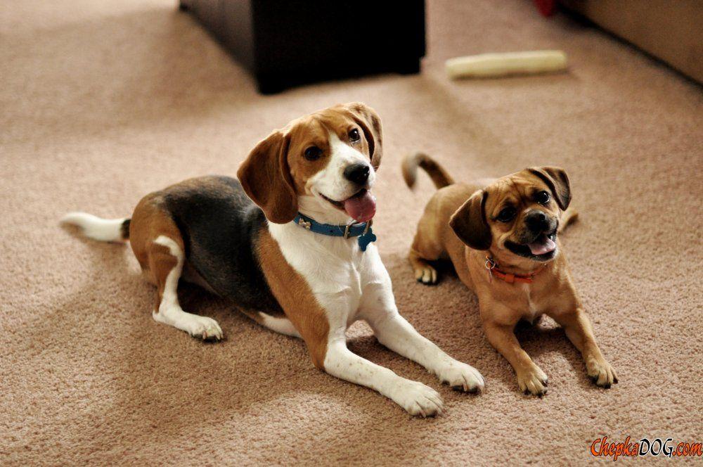 Directorio de razas de perros foto