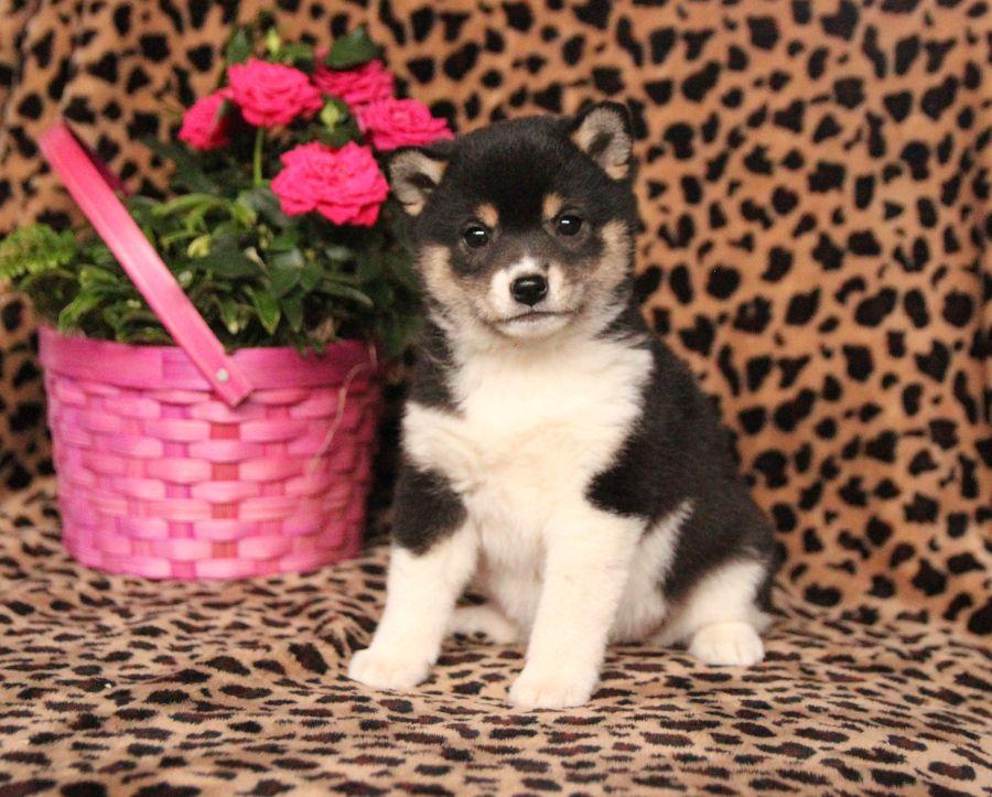 Faithful shibainu dog friends puppies shiba inu puppy