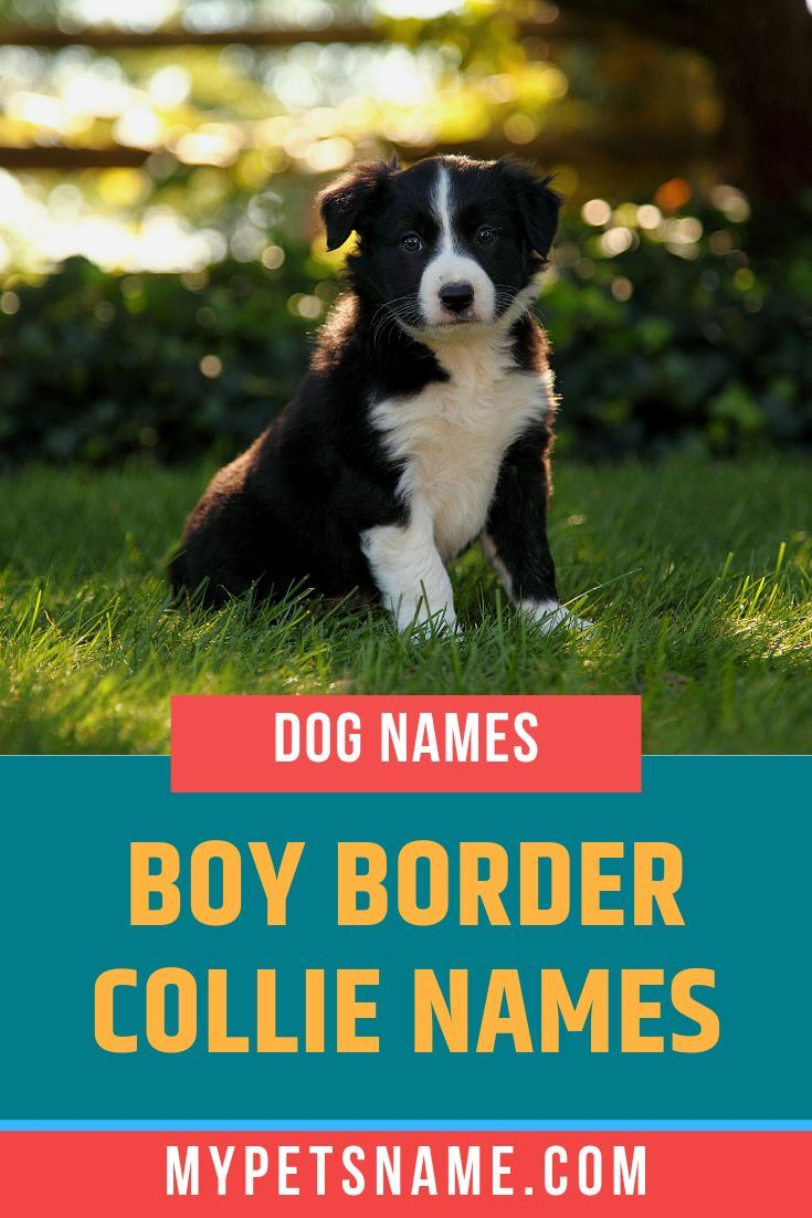 Boy Border Collie Names Dog Names Border Boy Collie Dog