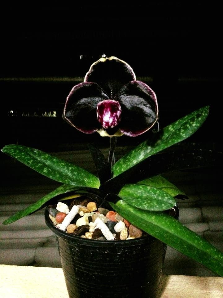 Paphiopedilum Orchid Gardening Timing Rare Orchids Orchids Garden Unusual Flowers