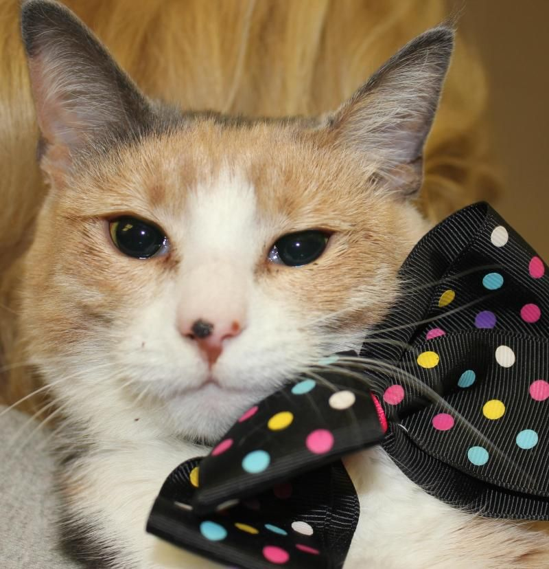 Adopt Cindy On With Images Cat Adoption Cats And Kittens Animal Shelter