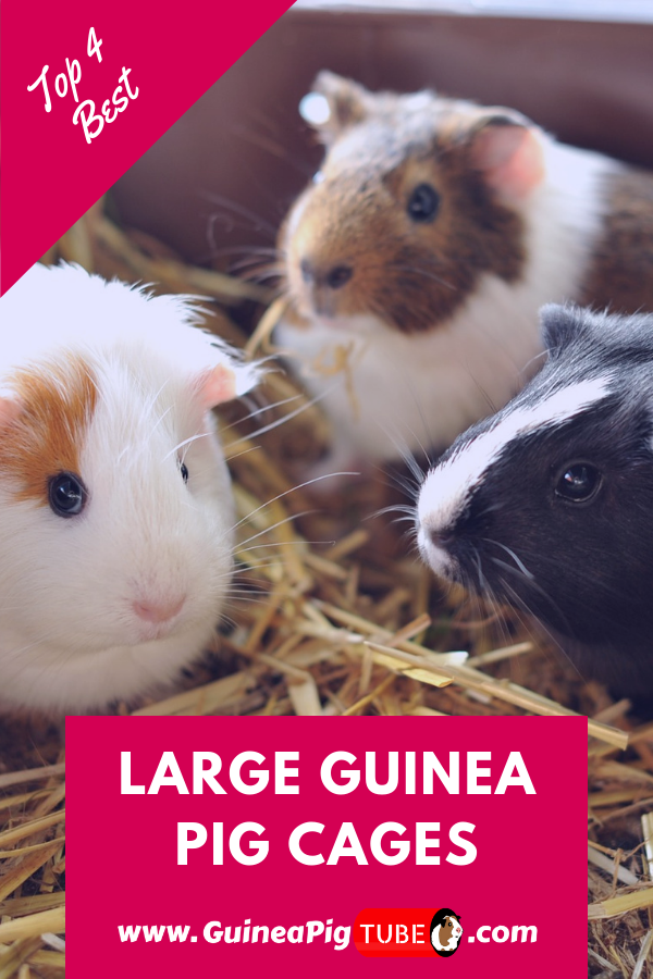 Pin On Guinea Pig Needs