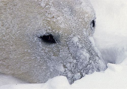 Polar Bears Know That They Have Black Nose While Hunting They Cover Their Nose With Snow Polar Bear Bear Pictures Polar