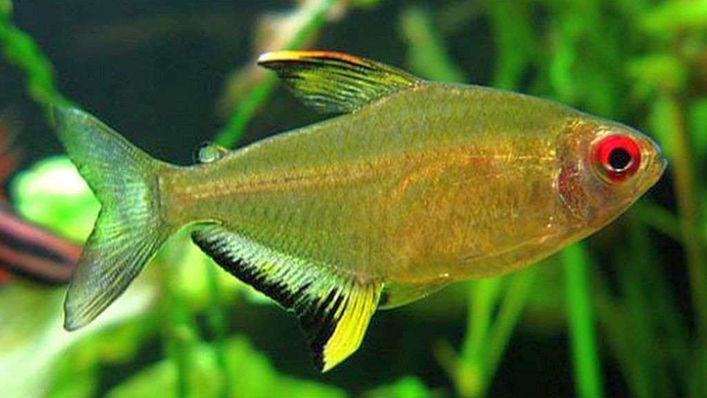 Hyphessobrycon Pulchripinnis Tetra Fish Tropical Fish Aquarium Fish
