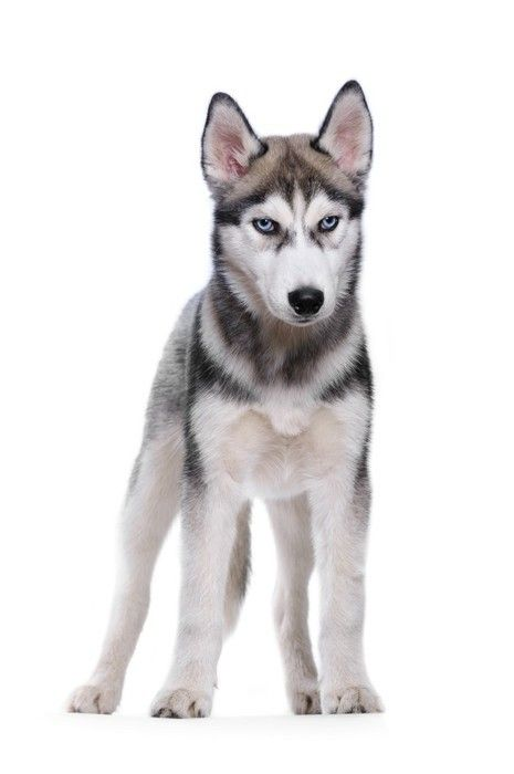 Siberian Husky On A White Background Wall Decal Animal Wall