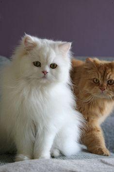 White Persian De Human Gonna Tellz Us A Horror Story Orange Tabby Wut S De Title White Persian T Cat Breeds Cats Persian Cat Doll Face