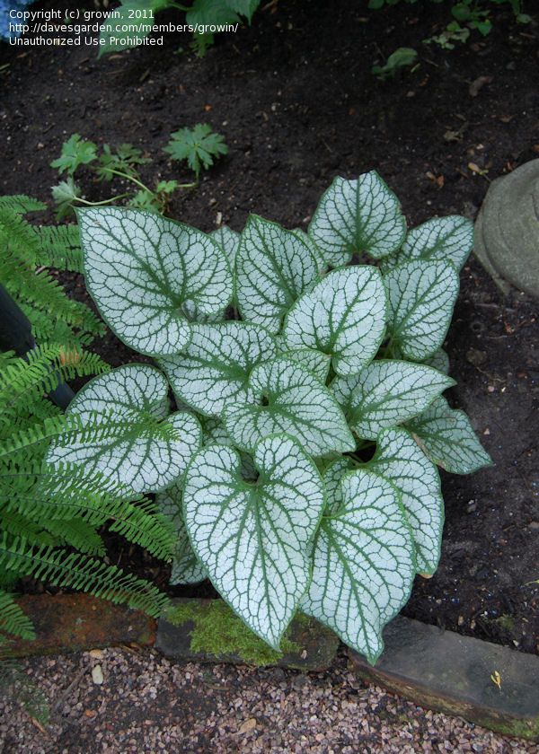 Jack Frost Brunnera Was Named 2012 Plant Of The Year By The