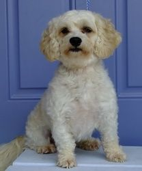 Toby Is An Adoptable Maltese Dog In Cape Girardeau Mo Toby Is 3