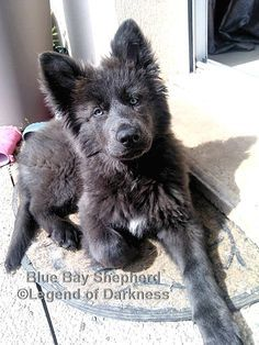 Https Www Facebook Com Blue Bay Shepherd Photos A 369385713129559 78734 369156186485845 630935016974626 Cute Animals Cute Dogs And Puppies Cute Baby Animals