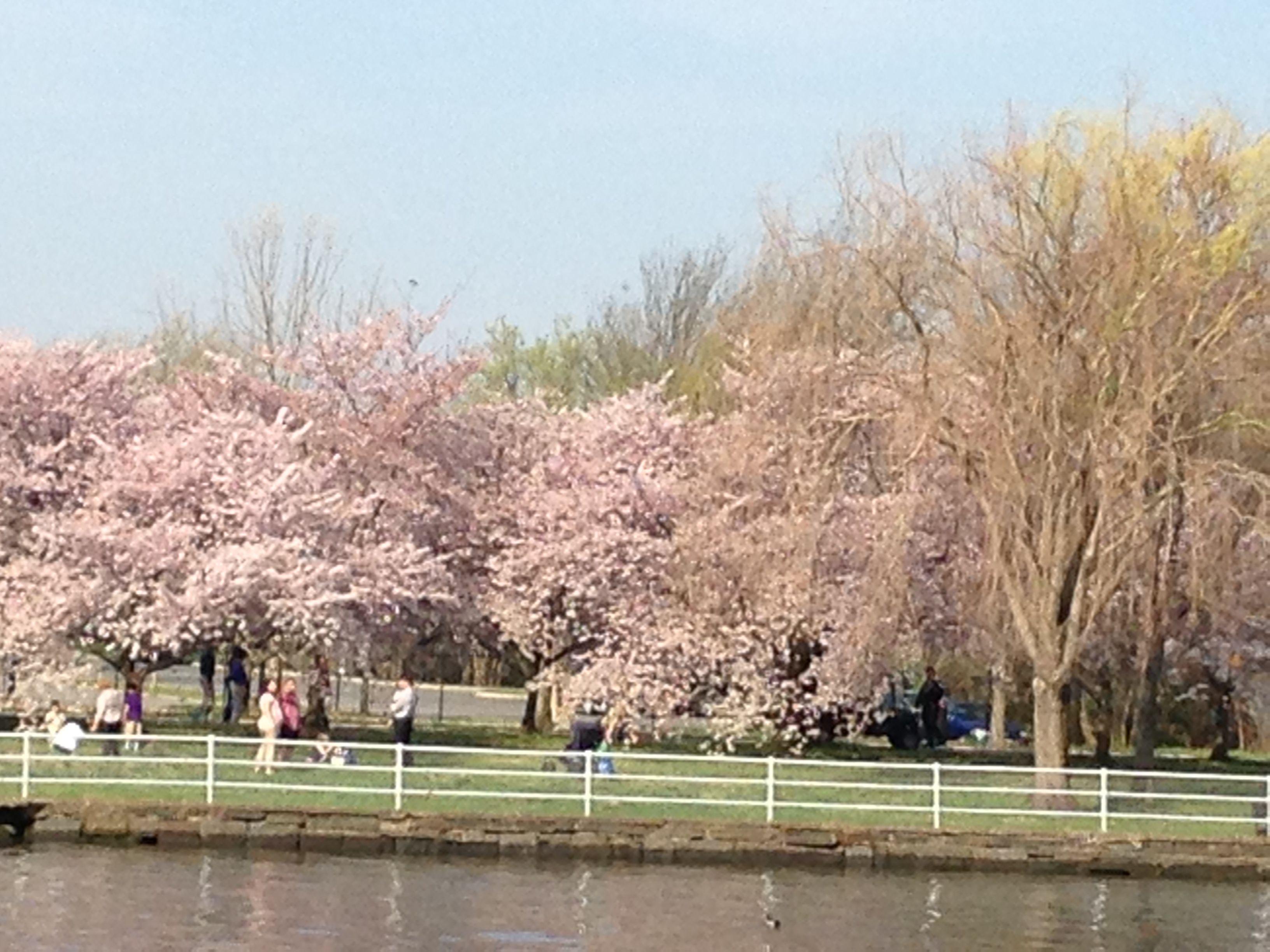 3 Day Washington Dc Cherry Blossom Amish Tour From Chicago Cherry Blossom Tour Cherry Blossom Korean War Veterans Memorial
