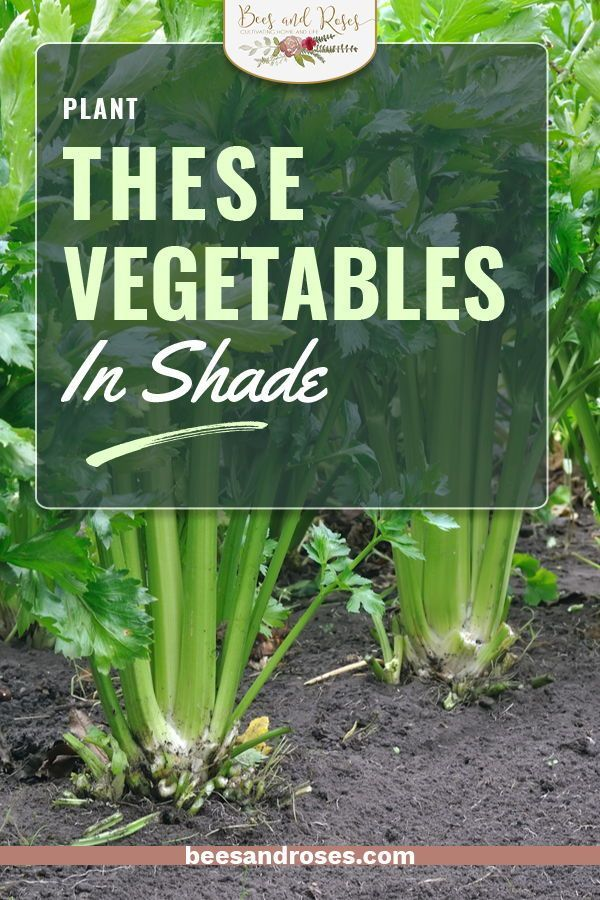 Gardeners are always in the sun because vegetables grow well with lots of it. However, there are some vegetables that actually love shade. Can you believe it? If you have a shady spot in your yard, you can make it into a vegetable garden. Just read the post for a list of shade loving veggies and more gardening tips. #beesandroses #gardening #vegetablegardening