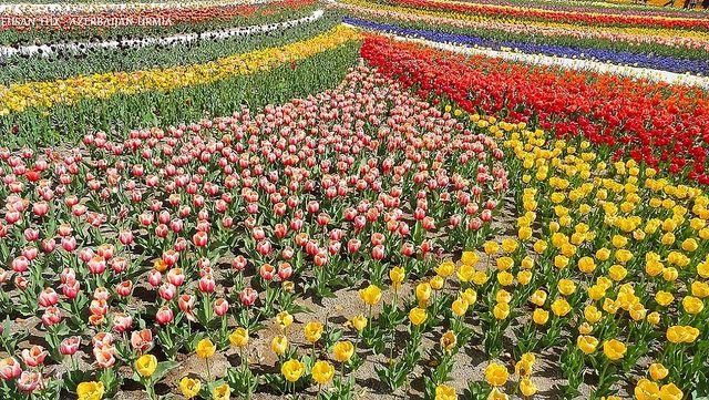 Urmia flowers - گل های شهر اورمیه