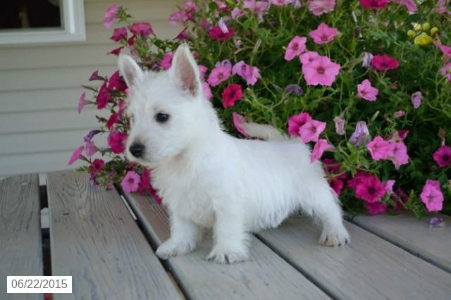 West Highland White Terrier Puppy For Sale In Ohio Buckeyepuppies West Highland White Terrier Terrier Puppy West Highland Terrier Puppy