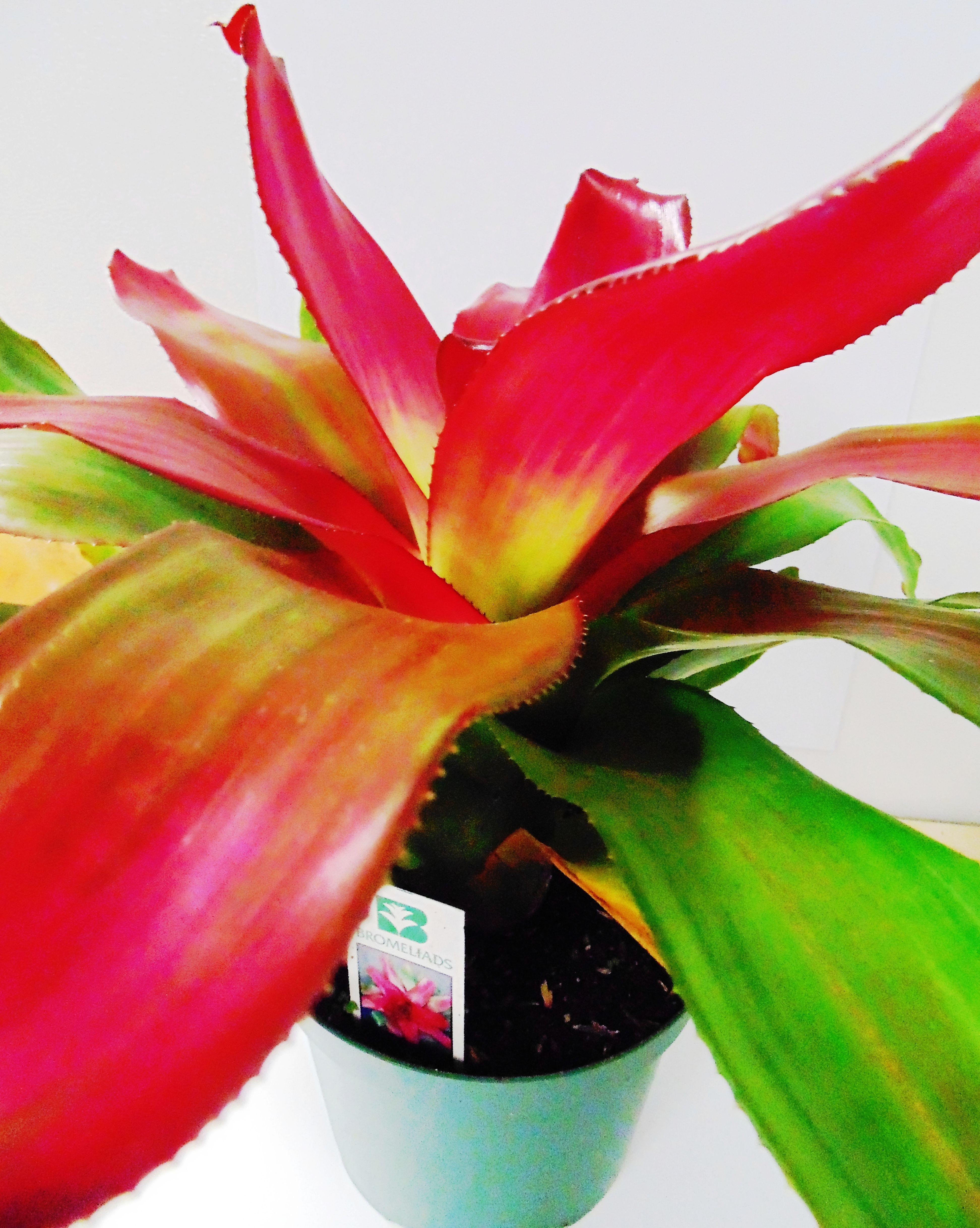 Bromelia adem s de ser una de las plantas decorativas m s for Plantas decorativas