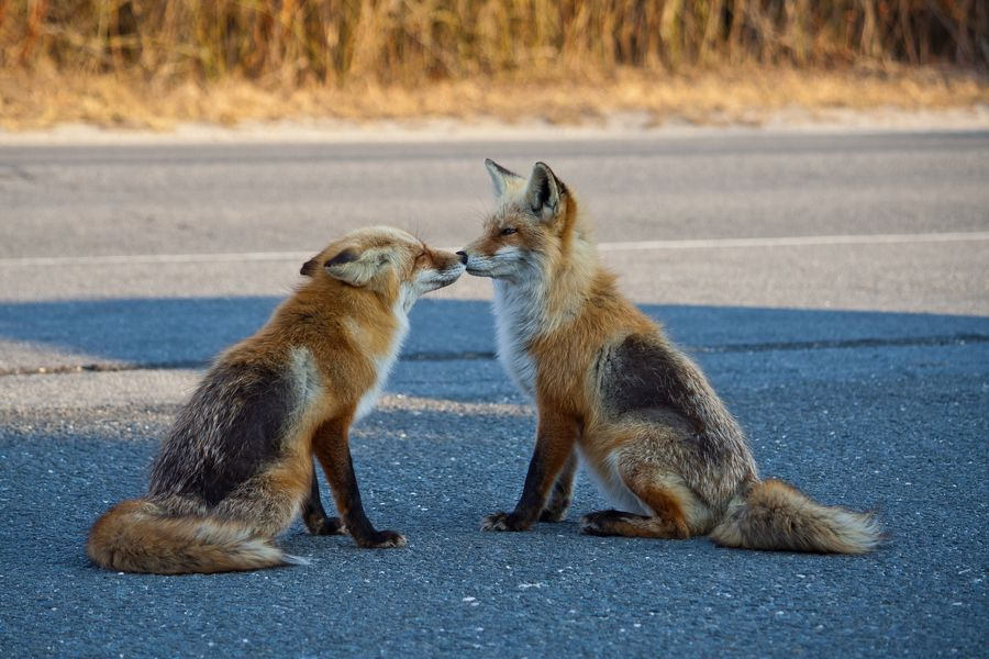 Pictures Of Foxes In Nj