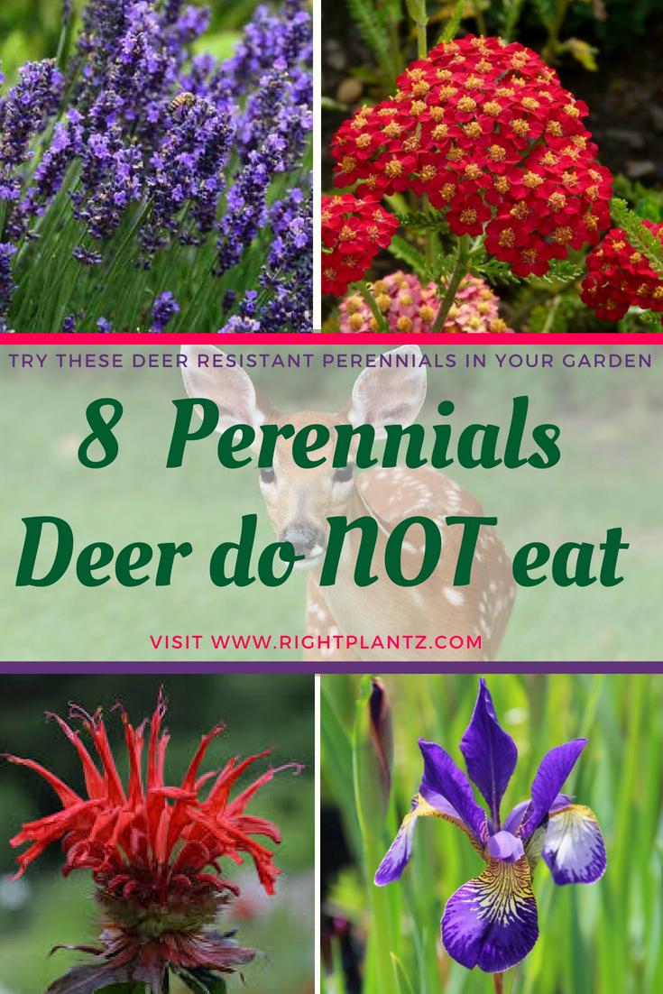 8 Great Perennials Deer Do Not Eat I Rightplantz Com Deer Resistant Perennials Deer Resistant Shade Plants Deer Proof Plants