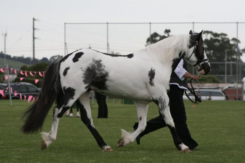 Free local classified ads Clydesdale horses, Horses