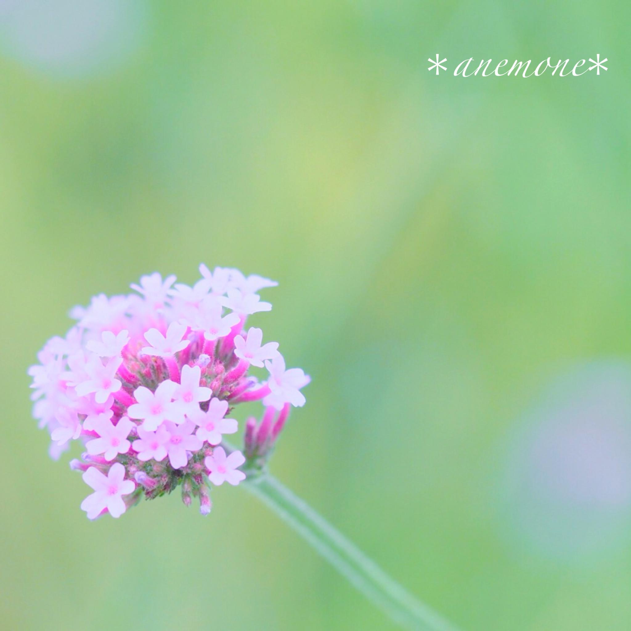 #バーベナ#Verbena#flower
