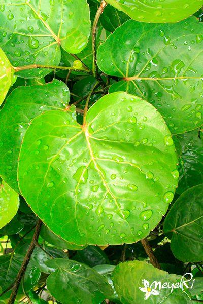 Polyscias Scutellaria Daun Mangkokan Tumbuhan Hias Pekarangan Dan Tanaman Obat Yang Relatif Populer Di Nusantara Namanya Meng Tanaman Obat Tanaman Menanam
