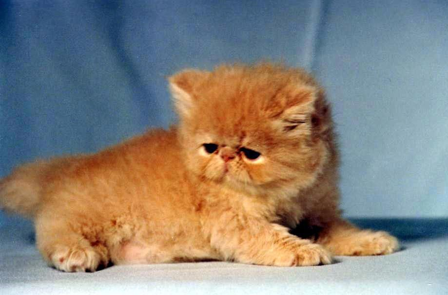 Himalayan Cat Is A Breed Or Sub Breed Of Long Haired Cat Identical