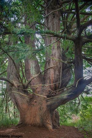 Steve Henry's hauntingly lovely photo of the Candelabra tree in Butano State Park. Steve Henry (c) 2012