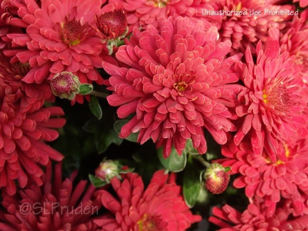 Photo Of Chrysanthemum Chrysanthemum X Morifolium Bravo Uploaded By Daylilyslp Chrysanthemum Bloom Flowers
