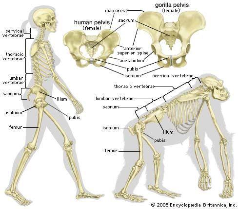 chimp vs human skeleton – citybeauty, Skeleton