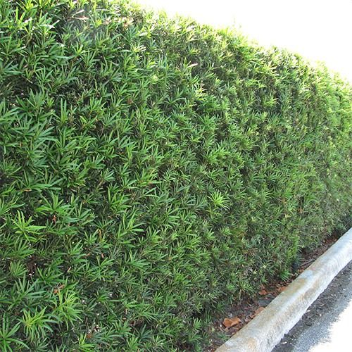 Fern Pine Podocarpus Gracilior This Is How Much It Can Screen But I Prefer Feather Pruned Vs Hedged Like Bm