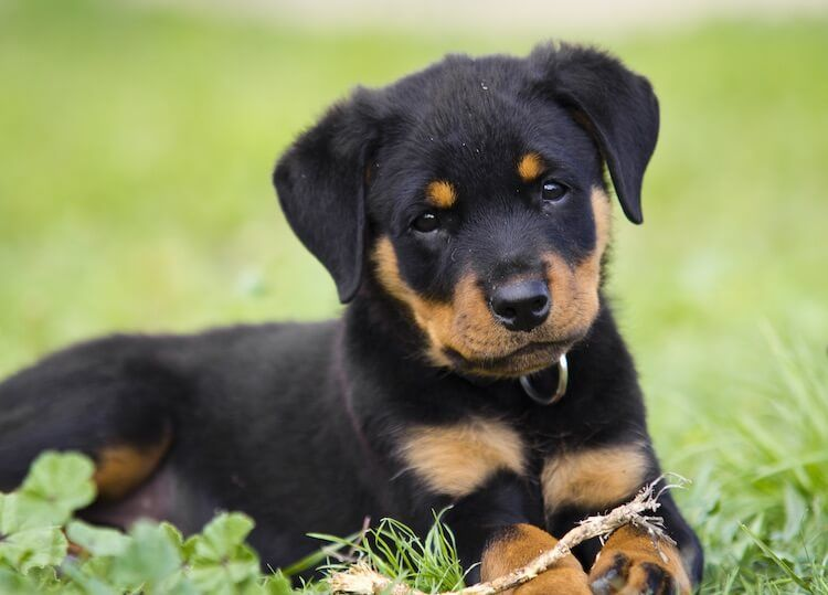 99 Strong Female Rottweiler Names In 2020 Rottweiler Facts
