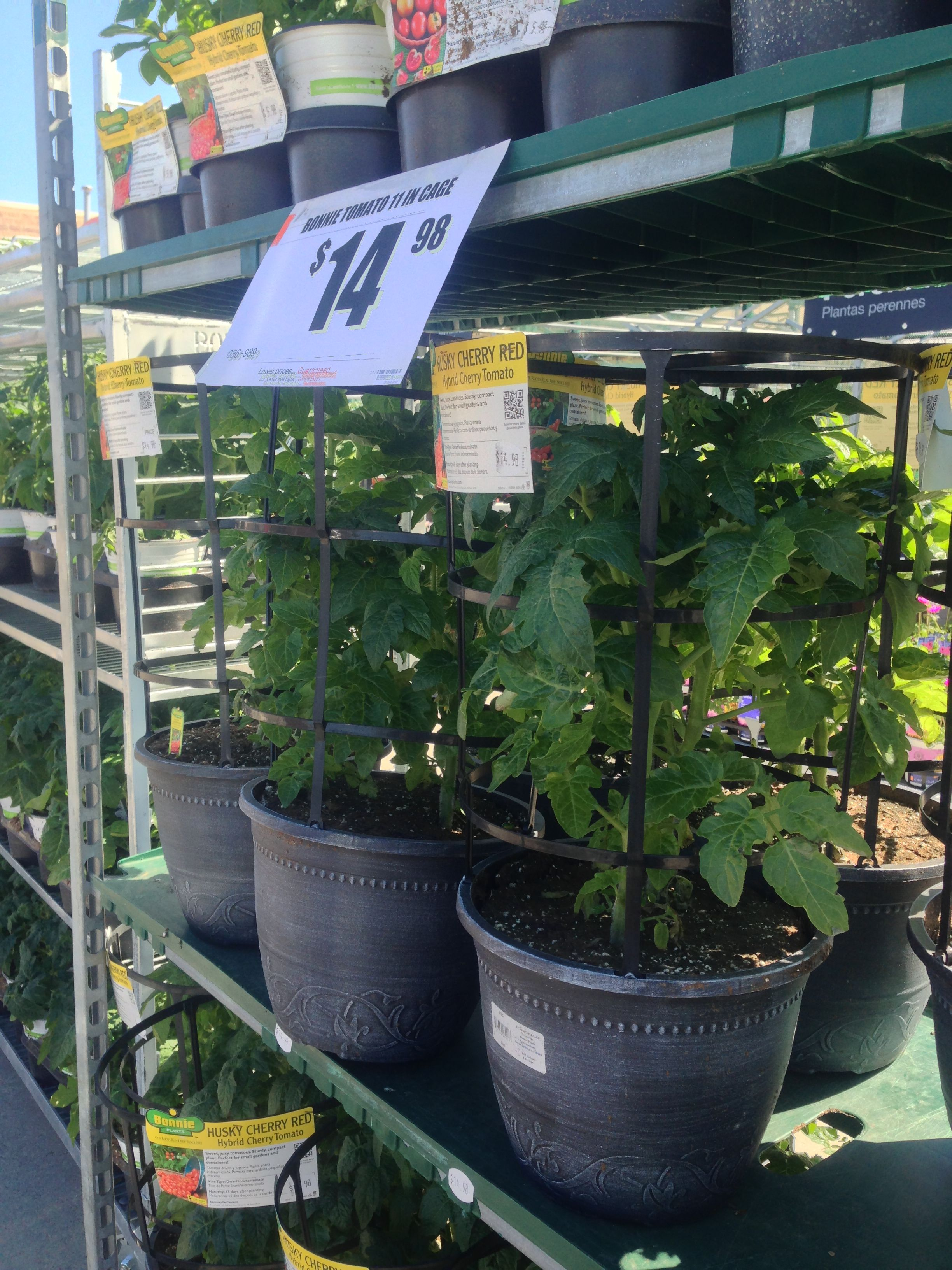 Getting Excited For Summer Bonnie Tomato Plants In Our 400 x 300