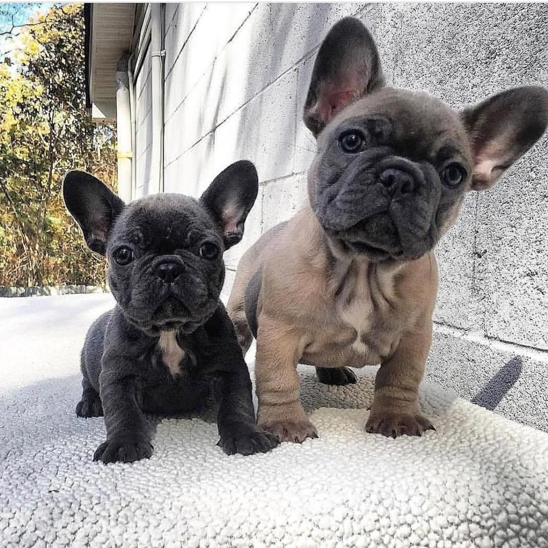 French Bulldog Puppies With Images Bulldog Puppies Cute