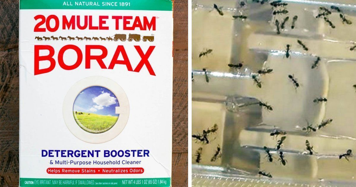 Put Borax In Your Home And Say Goodbye To Fleas Roaches Ants