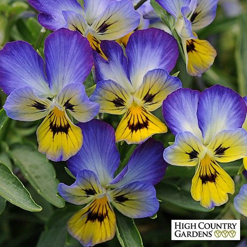 An ever blooming perennial johnny jump up type viola viola hybrida perennial johnny jump up type viola viola hybrida balvijac jumping jack perennial viola is both heat and cold hardy and flowers all season with mightylinksfo