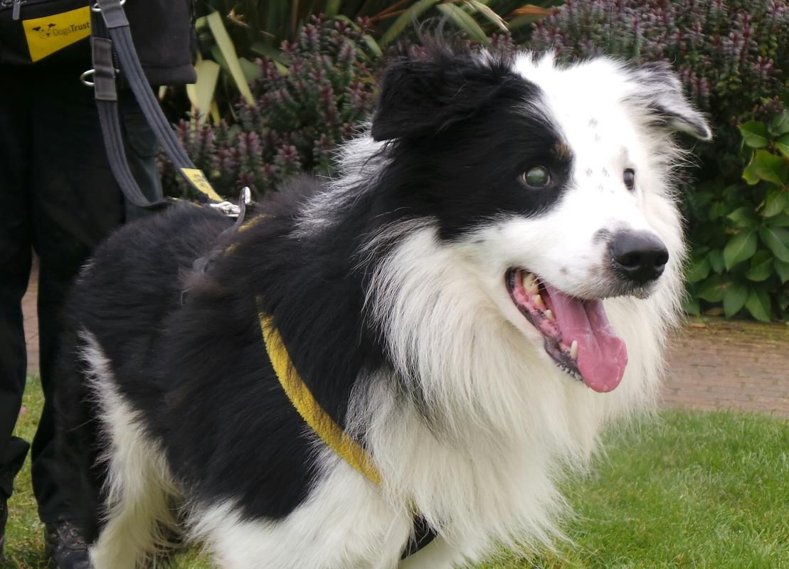 Adopt A Dog Taff Border Collie Dogs Trust Dogs Dog