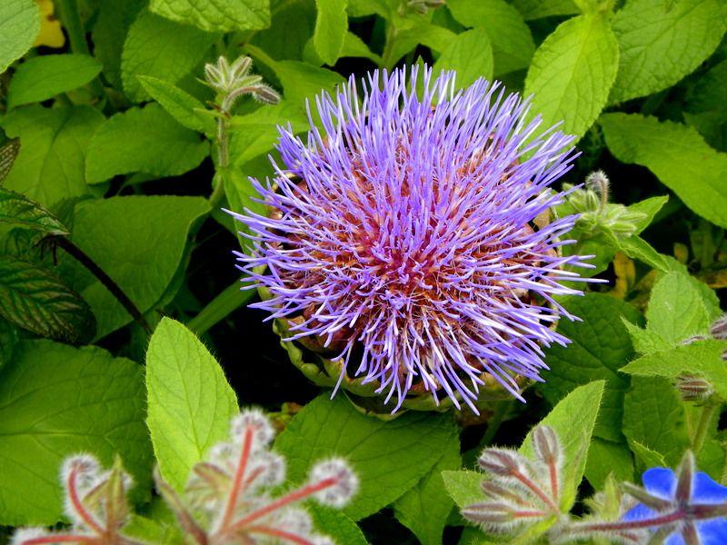 Fleur d'artichaut | Flowers, Plants, Herbs