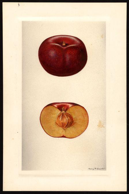Artist Arnold Mary Daisy Ca 1873 1955 Scientific Name Prunus