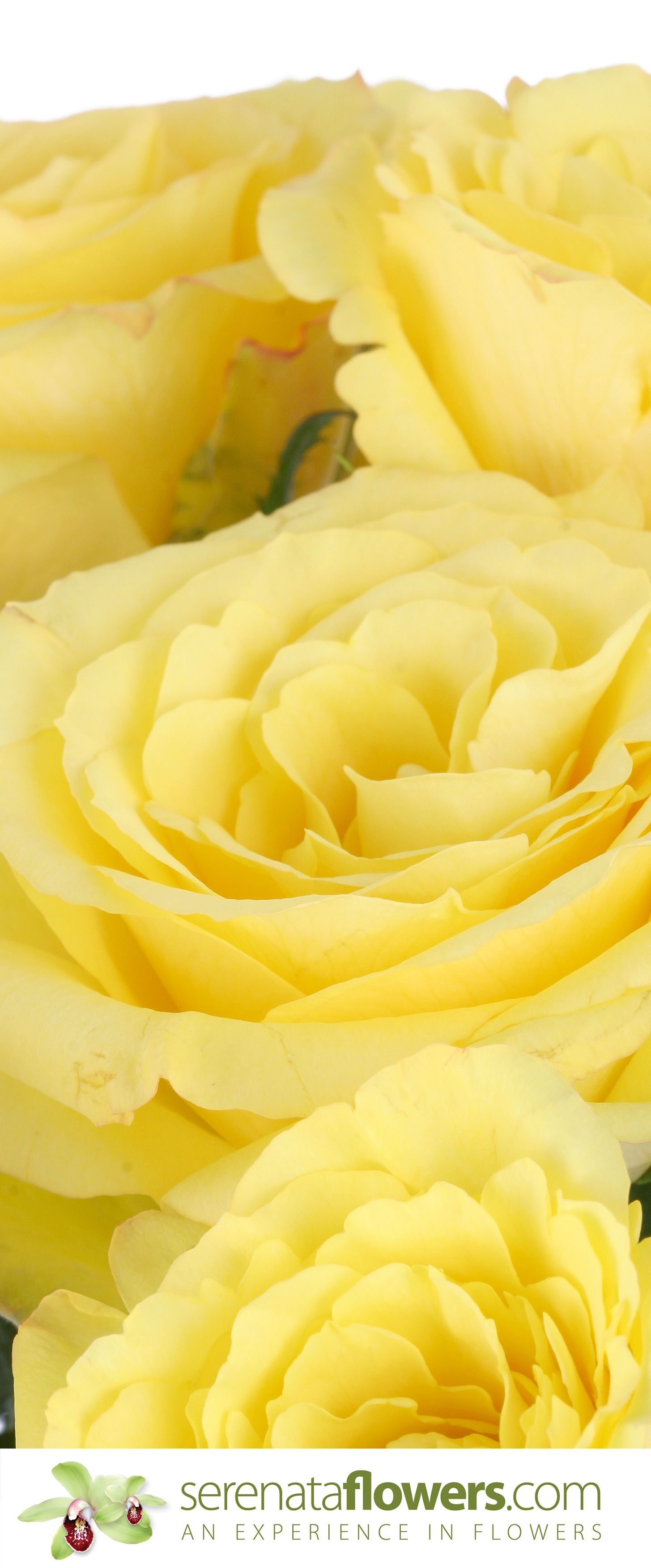 #yellow #roses from #serenata #flowers  #flowerbouquets #flowersdelivery #bouquets #yellowroses #rosebouquets