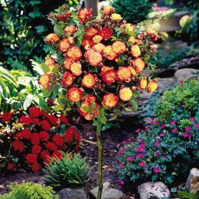 Rainbow sunblaze rose tree denenecek projeler for How to plant a rainbow rose seed