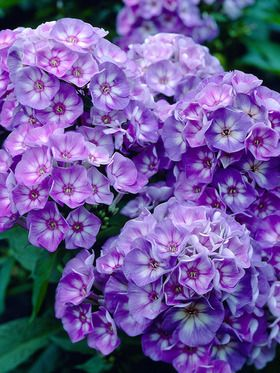 Phlox Laura Garden Phlox With Images Phlox Flowers Flowers