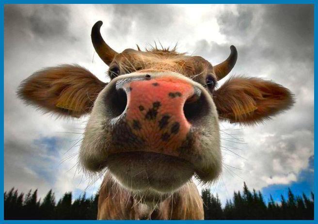 Cow Nose | Animaux, Photos insolites droles, Image vache