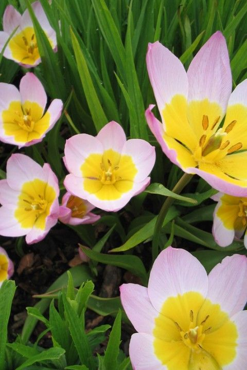 Tulp (Tulipa bakeri 'Lilac Wonder')