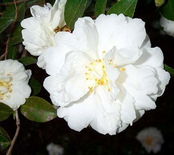 Mine No Yuki White Doves Camellia Camellia Sasanqua Mine No Yuki Sparkling White Semi Double Blooms With Glossy Dark Green Fo Live Plants White Doves Camellia