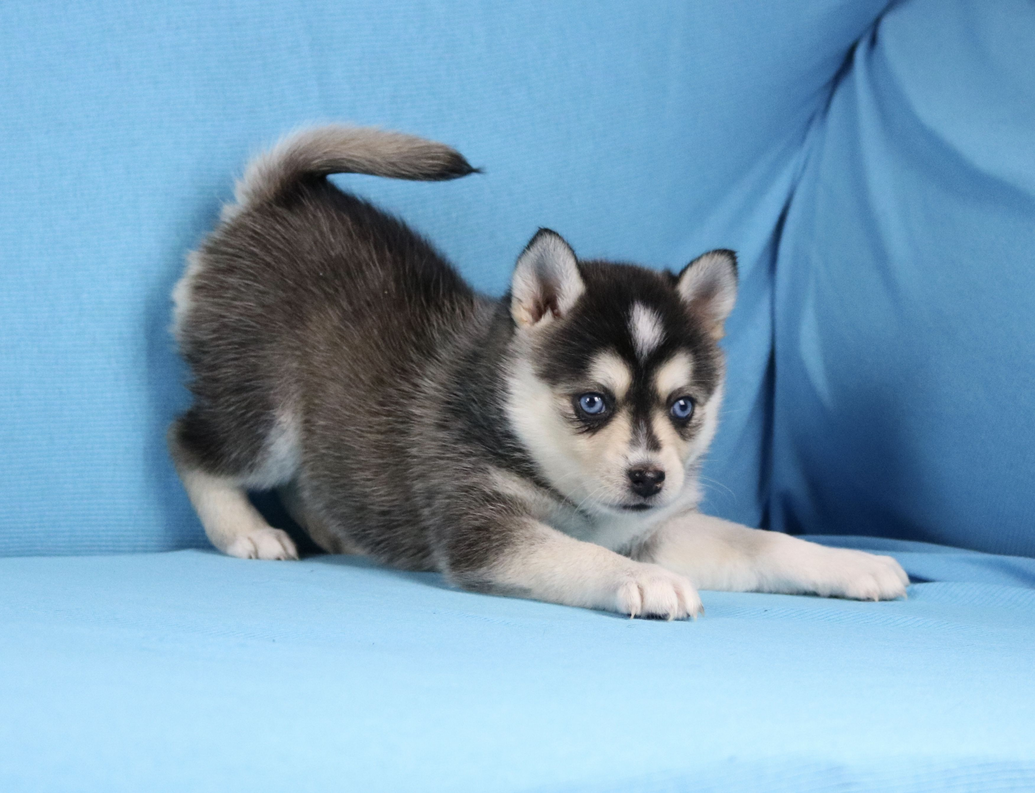 Pin by Noah Lynar on Dogs in 2020 Pomsky puppies