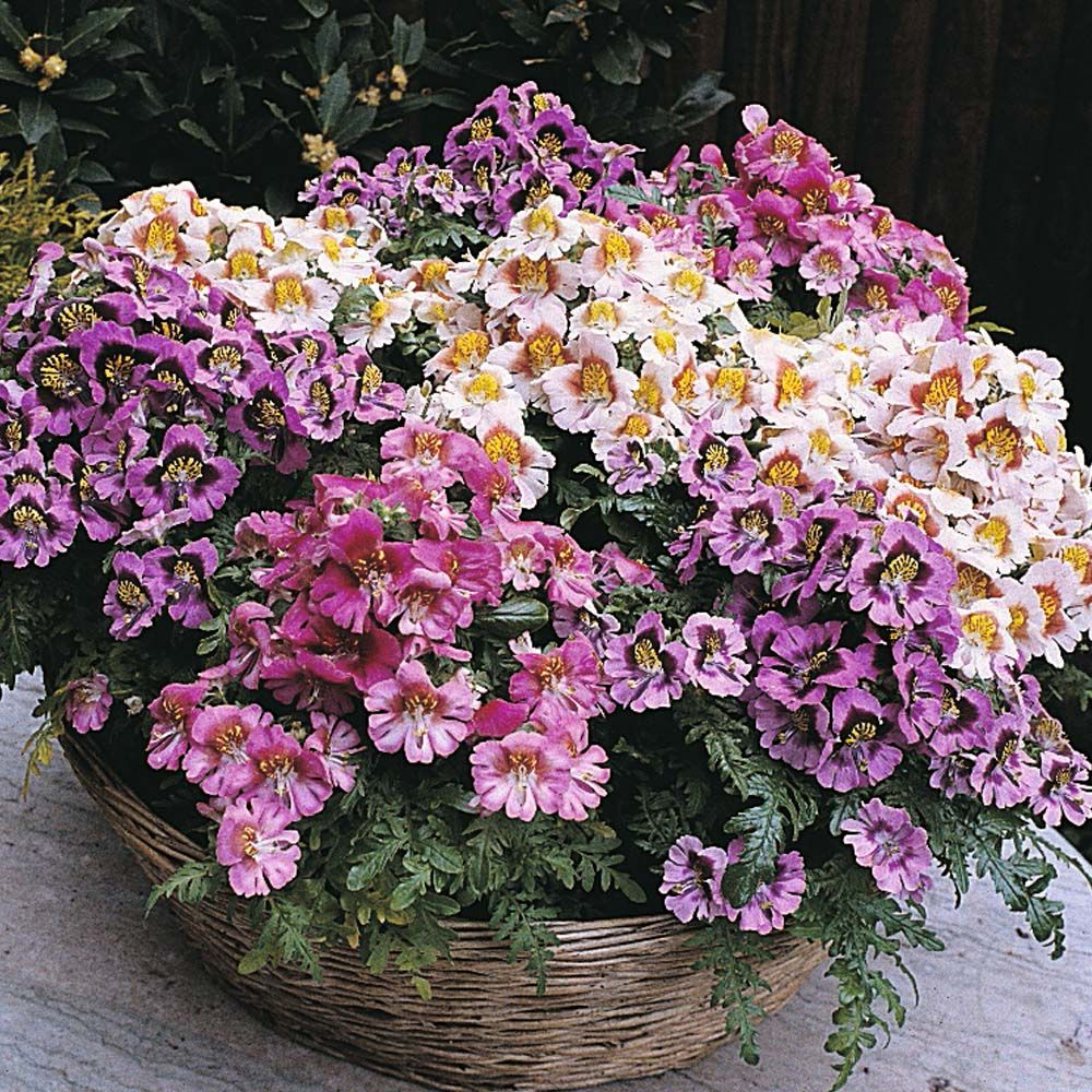 Schizanthus 'Dwarf Bouquet Mixed' Butterfly Flower, Poor